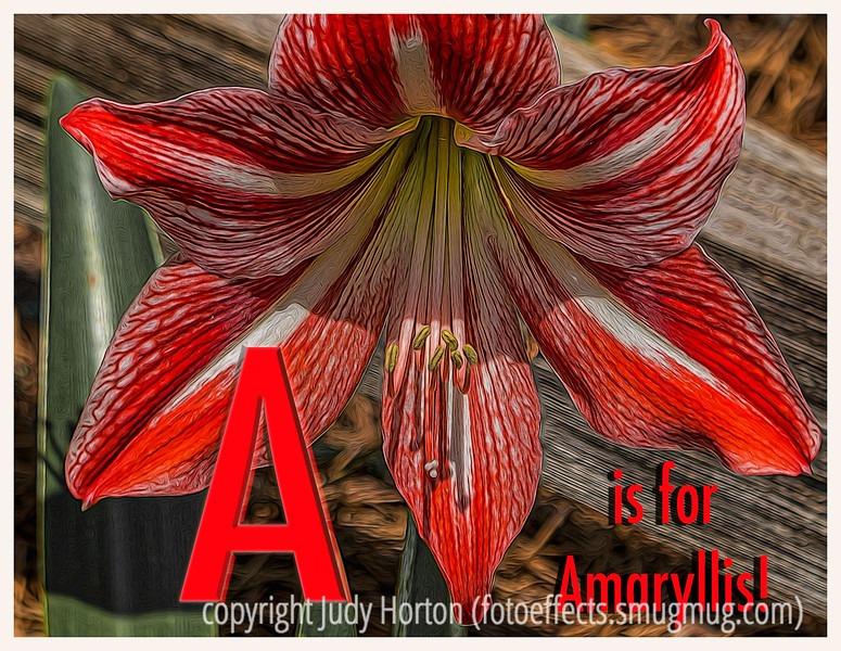 "A is for Amaryllis - We have not had a challenge since the old dailies were terminated; I was thinking that we might do another alphabet challenge, beginning with the letter ""a"" next Sunday and continue through the alphabet on the following Sundays.  Everyone who wants to participate, post your entry for the letter ""A"" next Sunday."