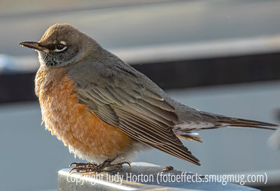 Robin Puffed Up From the Cold