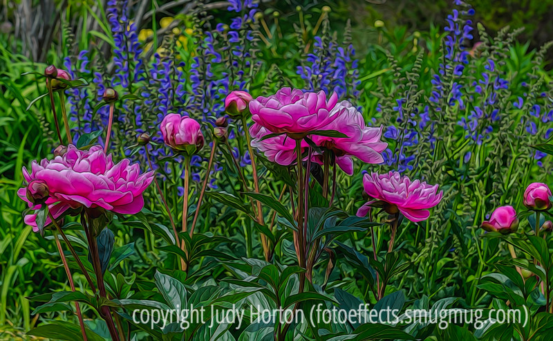 Peonies and Salvia