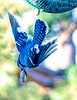 Blue Jay - streaking away with its peanut