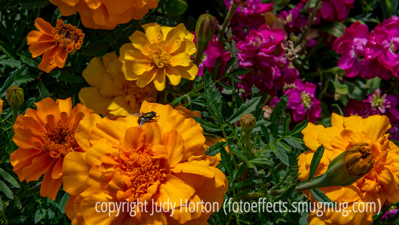 Fly on a Marigold