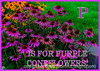 P is for Purple Coneflower!