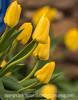 5/3/16 - Darwin Tulips