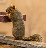 5/1/16 - Squirrel