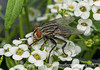 Some kind of fly on my alyssum, which seems to really attract flies