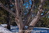 A giant cedar tree in Grand Canyon National Park - an older image, reprocessed
