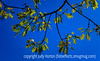 New Oak Leaves in Spring