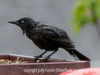Ratty Grackle - I wonder if this bird is a fledgling because it was so WET, when the rain and snow was just bouncing off the feathers of all the other birds.  He was absolutely frantic to get as much to eat as possible.