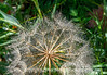Raindrops on Salsify Seedhead