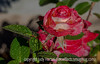 11/16/14 - Hard to believe I captured this rose after a rain just a short time ago.  Sadly, with the deep freeze of the last week, everything growing outside in Colorado Springs is toast!  You really need to see this one in the largest size to see all the drops!<br /> <br /> Thanks for your response to my shot of autumn in Colorado.  I have a few more of these that I'll share in the next few days.  Stay warm whereever you are!