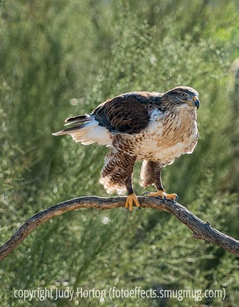 Ferruginous Hawk, photographed at the Sonoran Desert Museum, Tucson