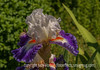German Bearded Iris