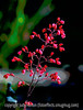 Heuchera (Coral Bells) Blooms
