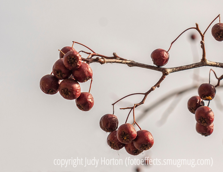Crabapples in Winter