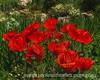 "Oriental Poppies - Don't forget the alphabet challenge ""D"" tomorrow!"