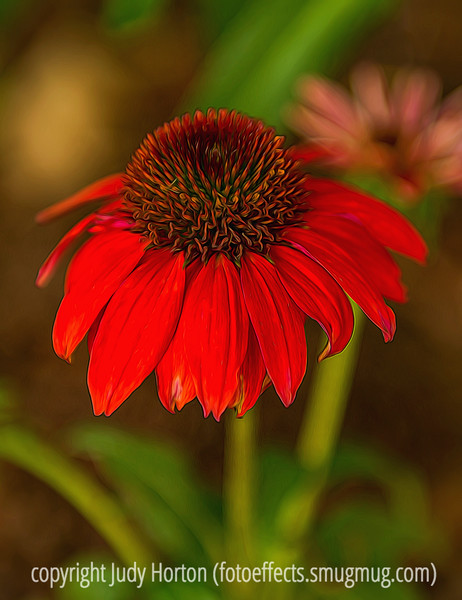 Echinacea, cone flower - this vibrant red color is a relatively new introduction