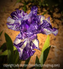 German Bearded Iris with Various Effects