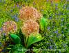 Allium - a painterly version