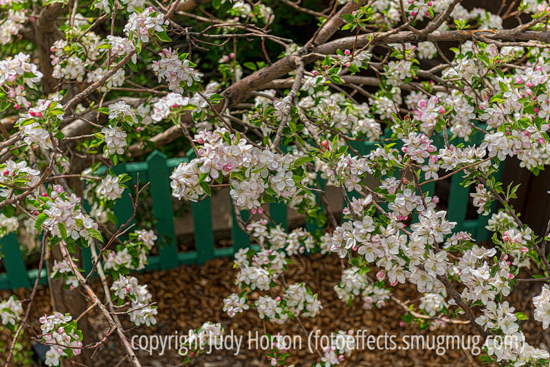 It's Apple Blossom Time!
