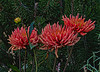 Dahlias in My Garden - last summer
