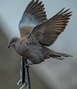 Asian Collared Dove