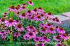 Echinacea, Purple Cone Flower
