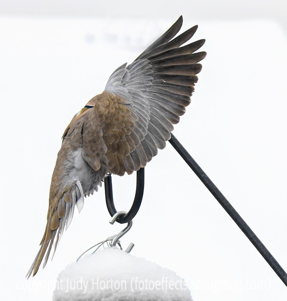 Asian Collared Dove - the head is hidden by the wings.