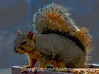 Squirrel - painterly version