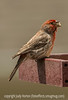 House Finch - a bit of a messy eater, best viewed in the largest size