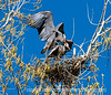Romance, Great Blue Heron-Style - the mating of great blue herons on their nest; check it out in the largest size