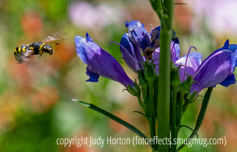 Airborne Bee near penstemon