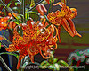 Tiger Lilies - a painterly version