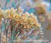 Rabbitbrush Seedheads