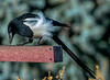 Magpie - it was another very windy day, blowing his feathers around...