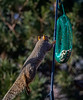 Squirrel Leaping Onto the Feeder Arm - it has taken me forever to capture this action; they are so darn fast and you have to click the shutter before they begin to move in order to get the action.