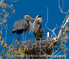 1/21/16 - A pair of great blue herons; best viewed in the largest sizes<br /> <br /> Thanks for your comments on my shot of the pelican in flight.