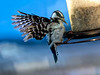 Downy Woodpecker - Please continue to pray for Wayne, as I believe he is still quite ill.