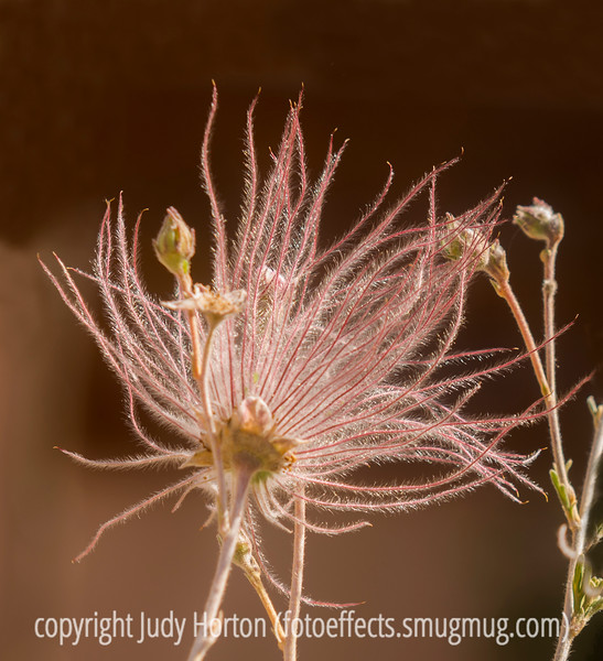 Seedhead - Apache Plume (thanks, Rick, for the ID)