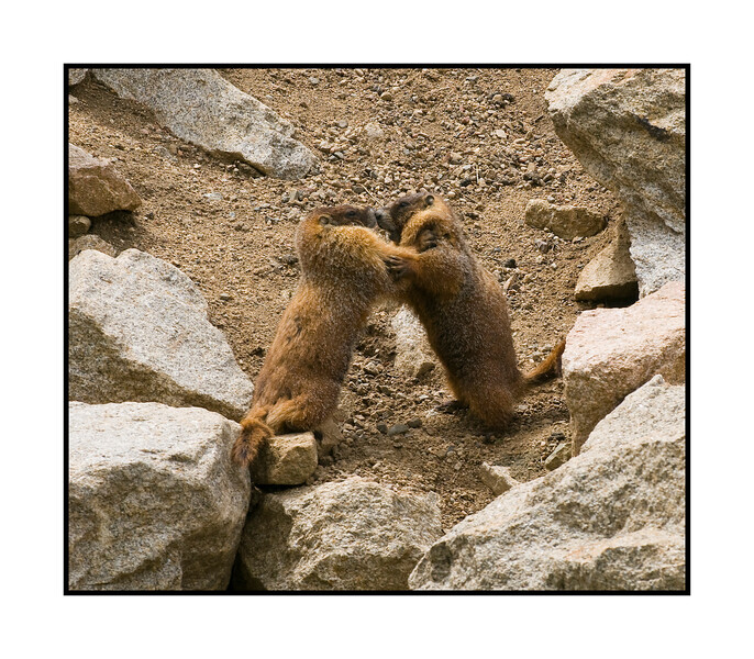 11/26/15 - Two marmots engaging in what I believe is a courtship ritual; they grasp shoulders, wrestle around a bit and seem to rub noses or faces. View the detail in the largest sizes.  Happy Thanksgiving, everyone in the U.S.!<br /> <br /> Thanks for the comments on my shot of the deer in the rabbitbrush.