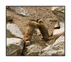 Two marmots engaging in what I believe is a courtship ritual; they grasp shoulders, wrestle around a bit and seem to rub noses or faces. View the detail in the largest sizes.