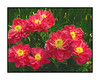 Peonies - once again I altered the hue of hot pink peonies to make them appear more red and then applied various painterly effects; this is the image that we chose to blow up and print onto metal for our living room