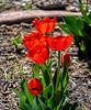 Tulips - obviously taken last spring