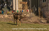 Buck in a Colorado Springs Yard