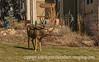 Buck in a Colorado Springs Yard