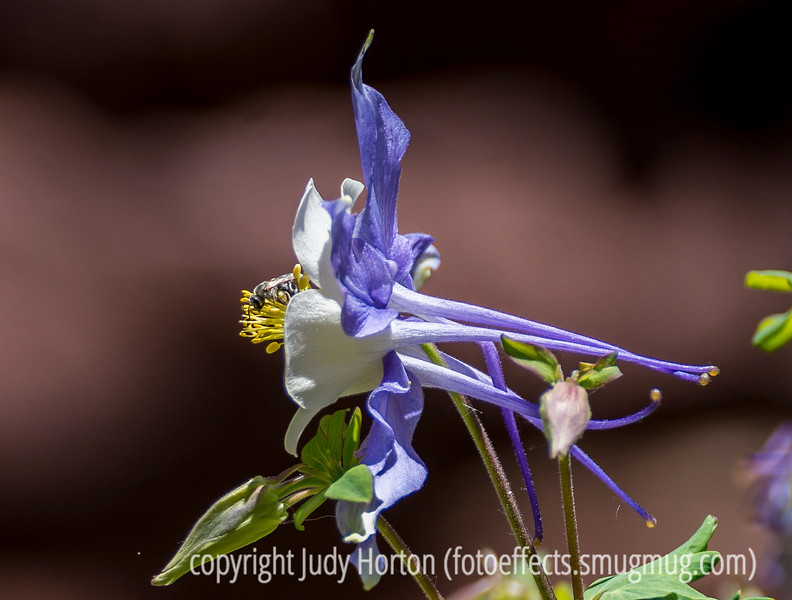 Columbine and Bee