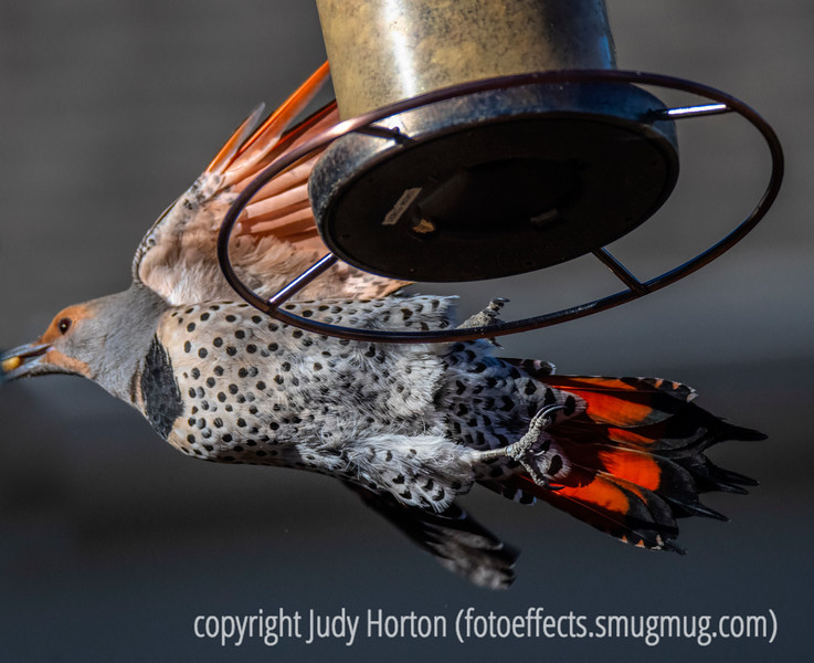 Northern Red-Shafted Flicker, Female - Wayne let me know yesterday that he is not feeling at all well; he may have covid!  I know we have all been missing new posts from him for a few days.