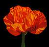 Oriental Poppy - a shot I took last spring in my garden