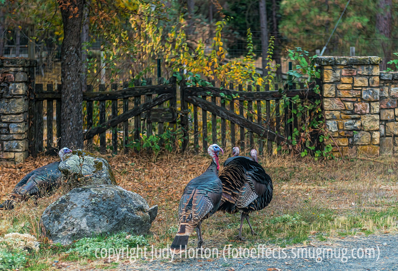 Wild Turkeys, California - I thought with the approach of Christmas, this might remind us of our turkey's wild ancestors!