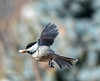 Airborne Chickadee with a Treat