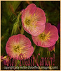 Evening Primrose for Breast Cancer Awareness